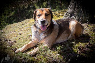 Beagle Schäferhund